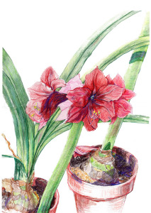 "Amaryllis, colored pencil, 18""X14"", 2004��"