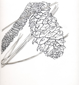 "Ponderosa Pine Cone, State Tree of Montana,  pen & ink on film, 16""X14"", 2005, exhibited in  Treasures of Lewis and Clark, Corcoran Gallery of Art, 2006. SOLD"