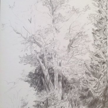 "Gen. Abraham Van Wyck's silver maple tree, graphite, 12""X9"", 2006"