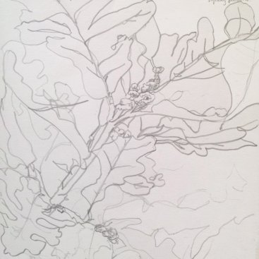 "Burr Oak, graphite contour drawing, 16""X14"", 2004"